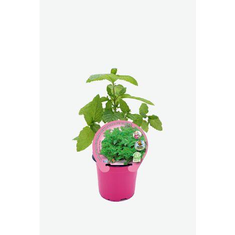 Plantón Natural de Menta (Hierba Buena) maceta 10,5 cm de diámetro