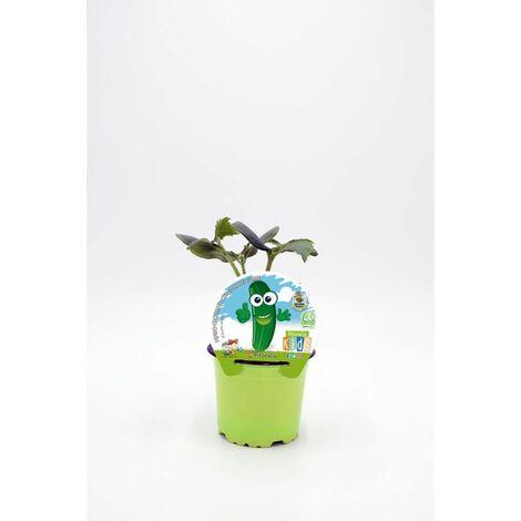 Plantón Natural de Pepino Colección KIDS maceta 10,5 cm de diámetro
