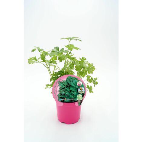 Plantón Natural de Perejil maceta 10,5 cm de diámetro