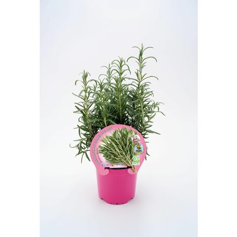 Plantón Natural de Romero maceta 10,5 cm de diámetro