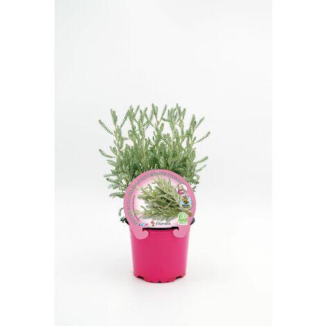Plantón Natural de Santolina maceta 10,5 cm de diámetro