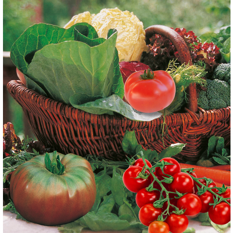 Plants de légumes en godets et en bottes - tomate marmande -Précoce et résistante - le lot de 3 godets - Printemps