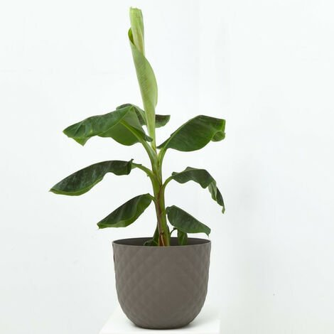 PLATANERA - Maceta 10 litros (Altura 115-125cm)