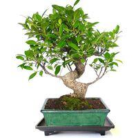 Plato bonsáis de plástico con pies 22x15x3 cm