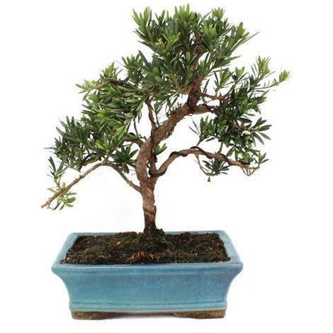 Podocarpus - Bonsái - 9 años