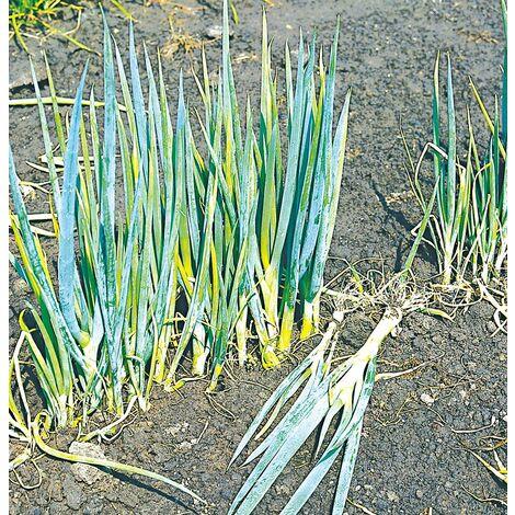 Poireau perpétuel - Légume vivace - Le godet - Printemps