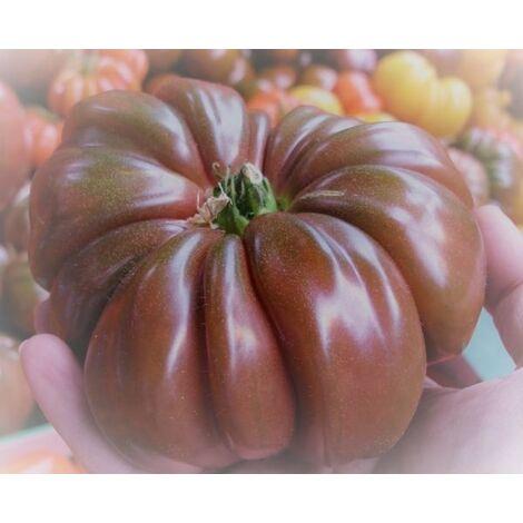Pomodoro costoluto blu (vaso 10)