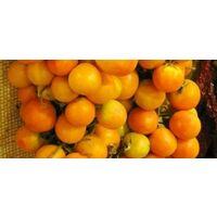 Pomodoro giallo (vaso 10)