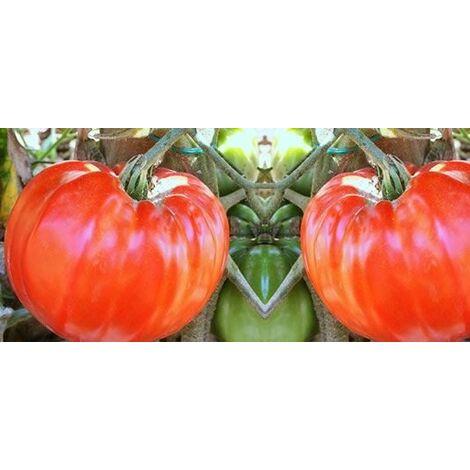 Pomodoro gigante (vaso 10)