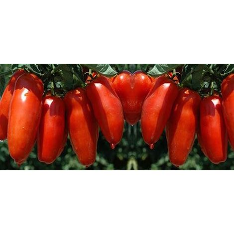 Pomodoro san marzano (vaso 10)