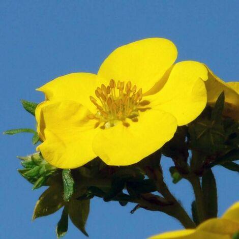 Potentille Arbustive 'Goldfinger' (Potentilla Fruticosa 'Goldfinger') - Godet - Taille 20/40cm