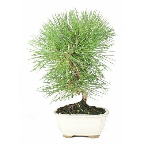 Prebonsai Pinus Halepensis de 8 años