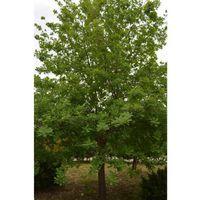 Quercia albero di quercia ilex alberi piante da giardino altezza 120/150 cm