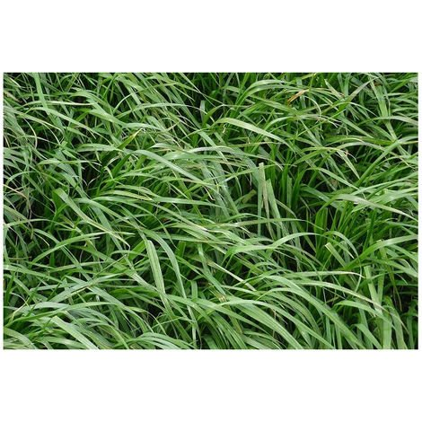Ray Grass Anglais Engrais vert 500gr Vilmorin - 200m2