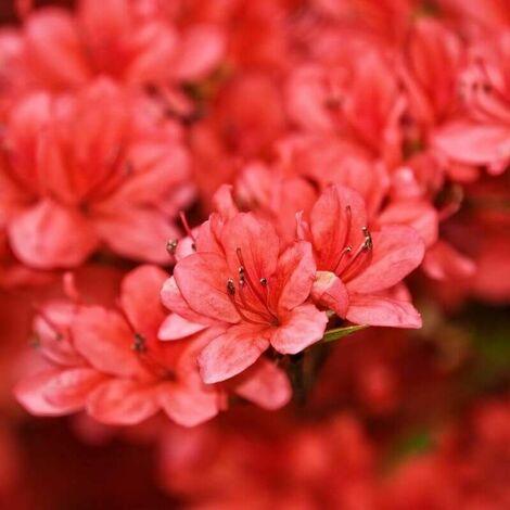 Rhododendron 'Wallowa Red' (Azalea mollis) - Godet - Taille 13/25cm