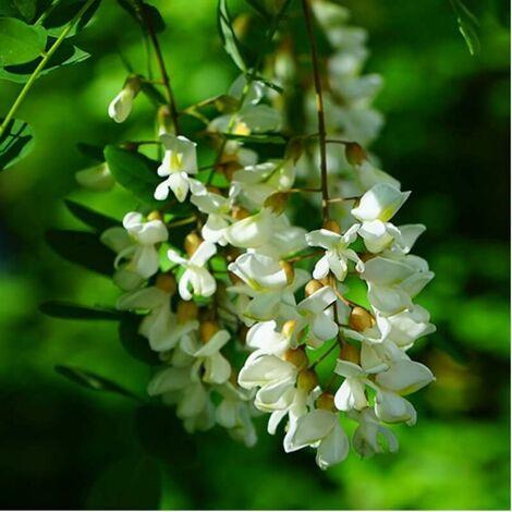 Robinier Faux Acacia (Robinia Pseudoacacia) - Godet - Taille ...