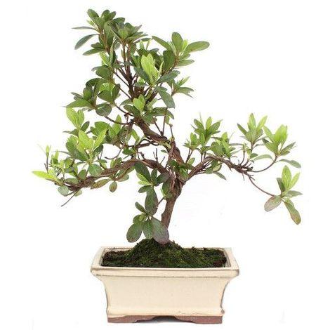 Rododendro - 6 años - Bonsái