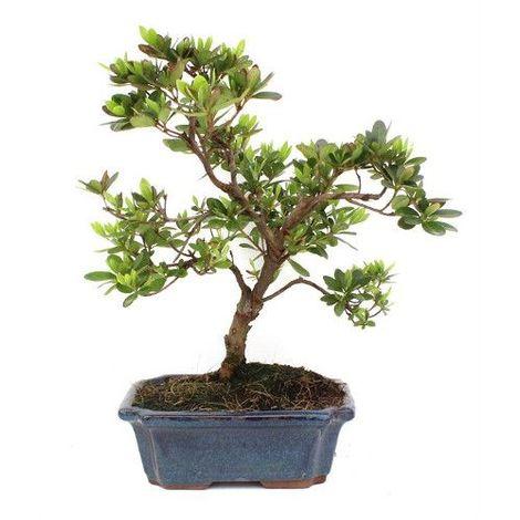 Rododendro - 9 años - Bonsái
