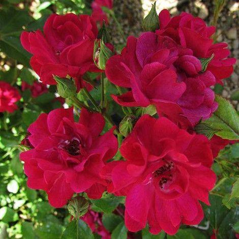 Rosa arbustiva The fairy damsel - 1Ud. - Maceta de 3Litros