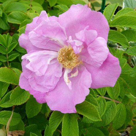 "main image of ""Rosa rugosa Pussy - 1Ud. - Maceta de 3Litros"""