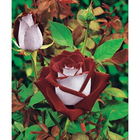 Rosales de flores grandes