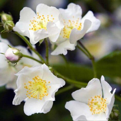 Rosier Pimprenelle (Rosa Spinosissima) - Godet - Taille 20/40cm