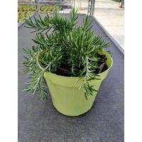 Rosmarino prostato vaso 14 piante aromatiche erbe aromatiche pianta aromatica
