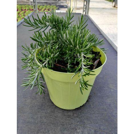 Rosmarino prostato -vaso14cm- piante aromatiche erbe aromatiche pianta aromatica