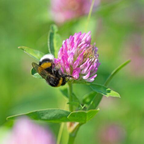"main image of ""Rotklee (Trifolium pratense) 10 kg Klee Leguminosen Wiesenklee Futterbau"""