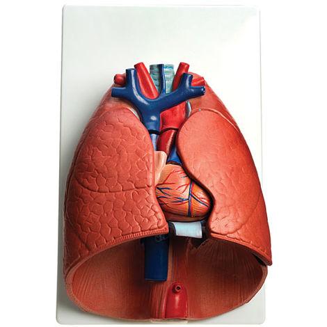 RVFM Larynx, Heart and Lungs Model