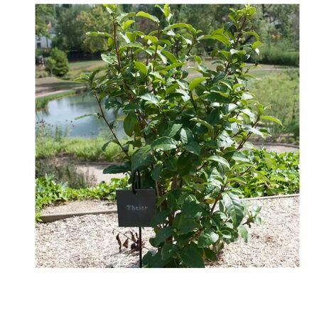 sachet graines Théier de Chine Camellia sinensis vilmorin