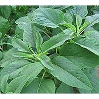 Salad - Amaranth - Green Giant - 1200 Seeds (Stand)