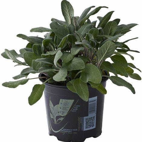 Salvia in vaso ø14 cm Piante Aromatiche Erbe Aromatiche Pianta Aromatica