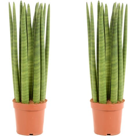 Sansevieria Cylindrica Ø 17 x H. 55cm | Offre Duo