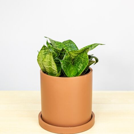 "Sansevieria trifasciata ""Hahnii"" [Vaso Ø12cm | H. 25 cm.]"