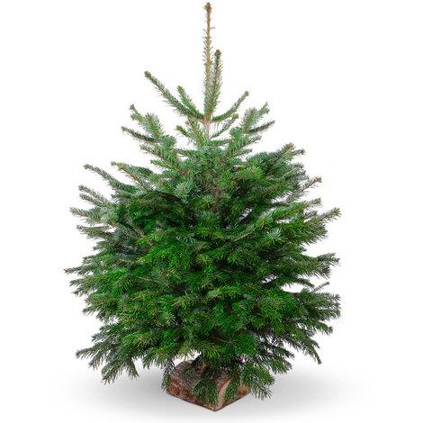 Sapin de Noël naturel Nordmann - 125/150cm avec bûche - SA-NO-125-150
