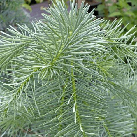 Sapin du Colorado (Abies Concolor) - Godet - Taille 20/40cm