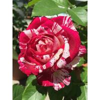 SCENTIMENTAL® WEKPLAPEP - Le rosier en motte - Roses Anciennes