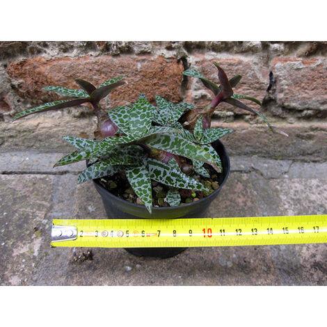 Scilla violacea 12 cm, cactus, pianta grassa