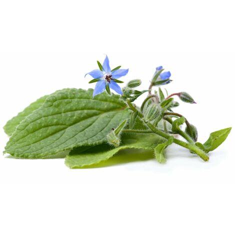 Seme semi borraggine selvatica sativa officinale aromatica aromatiche pianta orto
