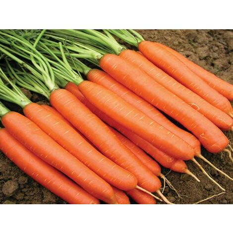 Semi biologici di carota nantese Geo
