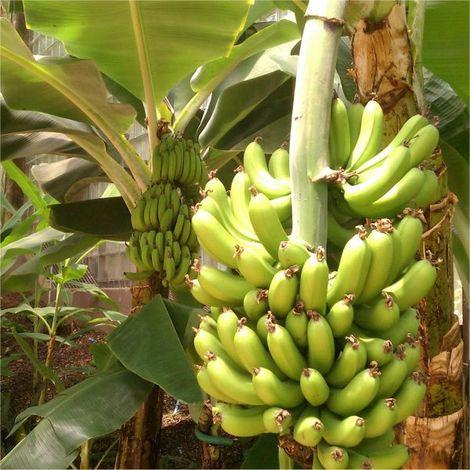 Semi Del Banano