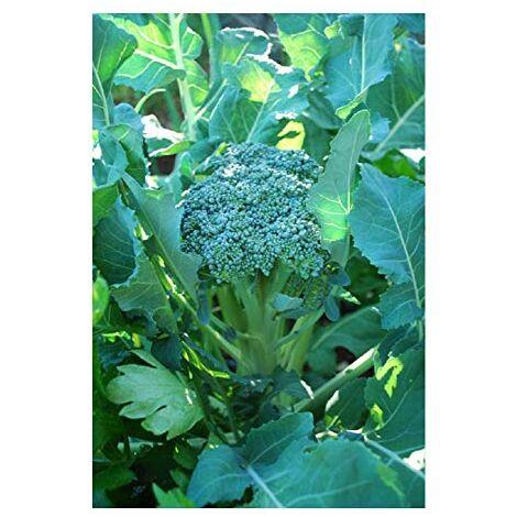 """""""Semi di broccoli bio Premier """"""""Waltham 29"""""""" Premier Seeds Direct ORG025 (confezione da 800 pezzi)"""""""