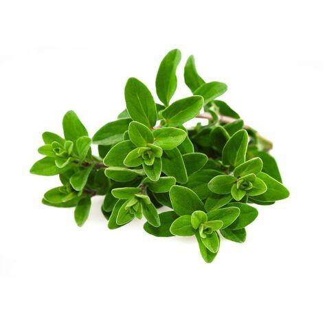 Semi maggiorana selvatica sativa officinale aromatica pianta orto