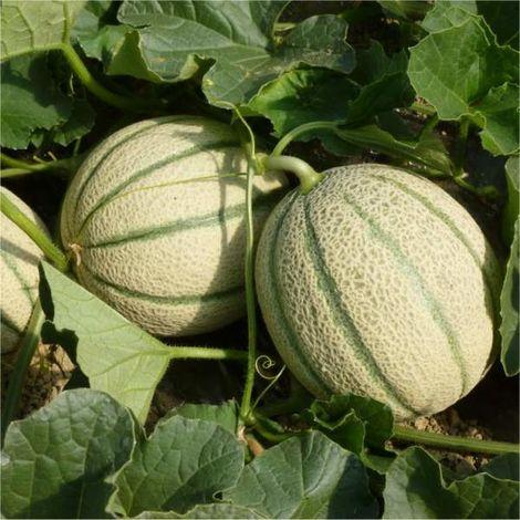 Semi Melone Retato Degli Ortolani