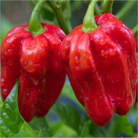 Semi Peperoncino Habanero Red Savina