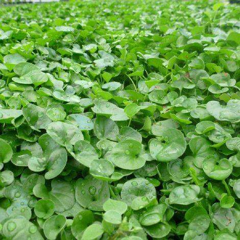 Semi Sementi Di Prato Dichondra Dicondra Repens Per Giardino Sempreverde 453 Gr