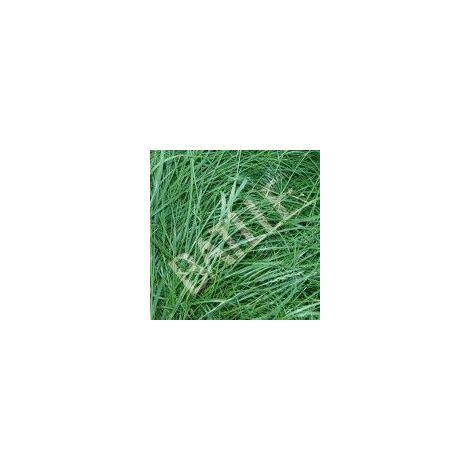 Semilla Cesped Batlle Raygrass Ingles Diploide 043301k5 5 Kg