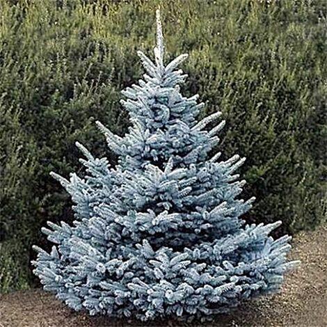 Semillas 5 Gr. de Picea del Colorado. Picea Pungens Glauca. Abeto Azul