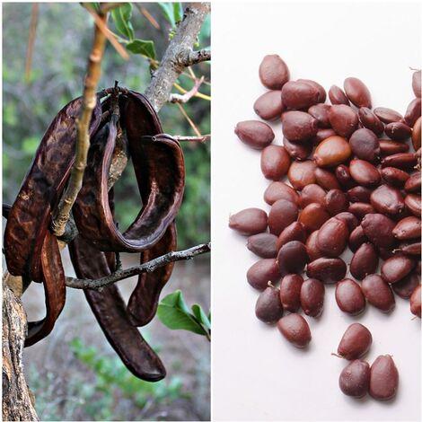 Semillas de Algarrobo. Ceratonia Siliqua. 250 Gramos